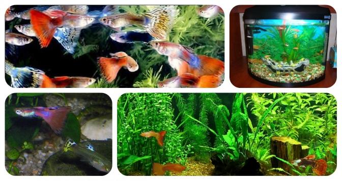 4e58bf424d9888 Львів'янам покажуть акваріумних риб гуппі