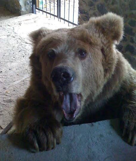 Активісти намагаються врятувати наЛьвівщині ведмедя